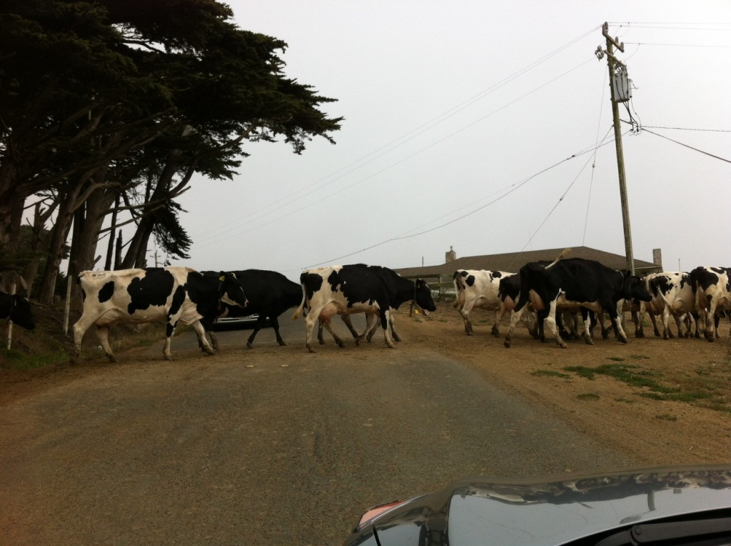 The drive to Point Reyes takes you through several ranches. We came through at milking time.