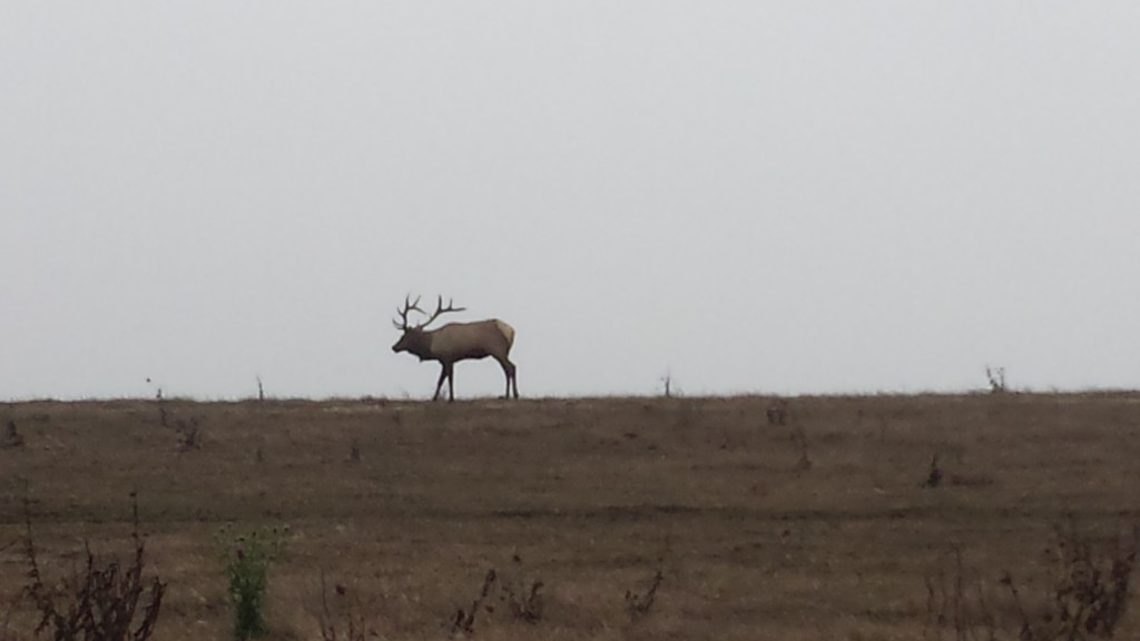 On our drive back from Drake Beach, where Sir Francis Drake landed the Golden Hind, we stopped several minutes to watch this elk, which seemed to be posing for us.