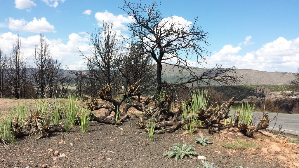 Are those green shoots plants that survived the wildfire? Or is new life already returning to the canyon rim after the June fires?