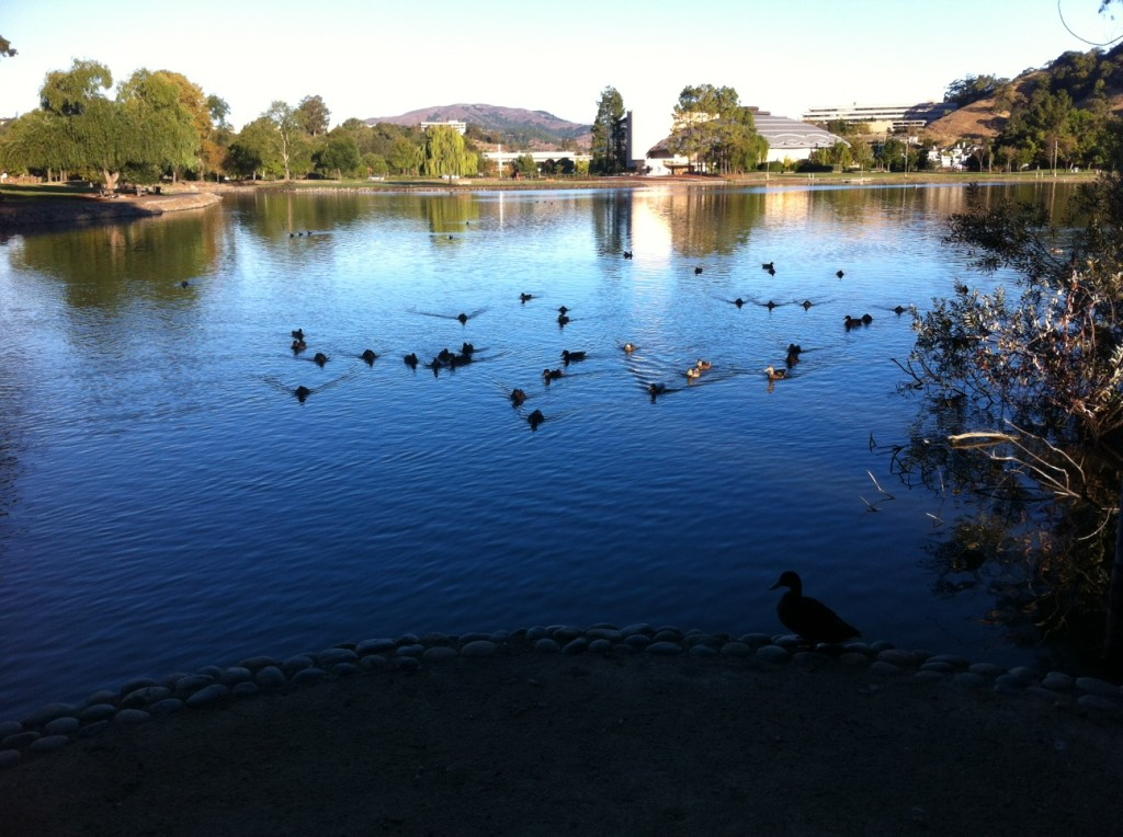 We moved to San Rafael, north of the Golden Gate Bridge, for the second week. My morning walks took me around a lovely pond that attracted ducks, geese and other waterfowl.