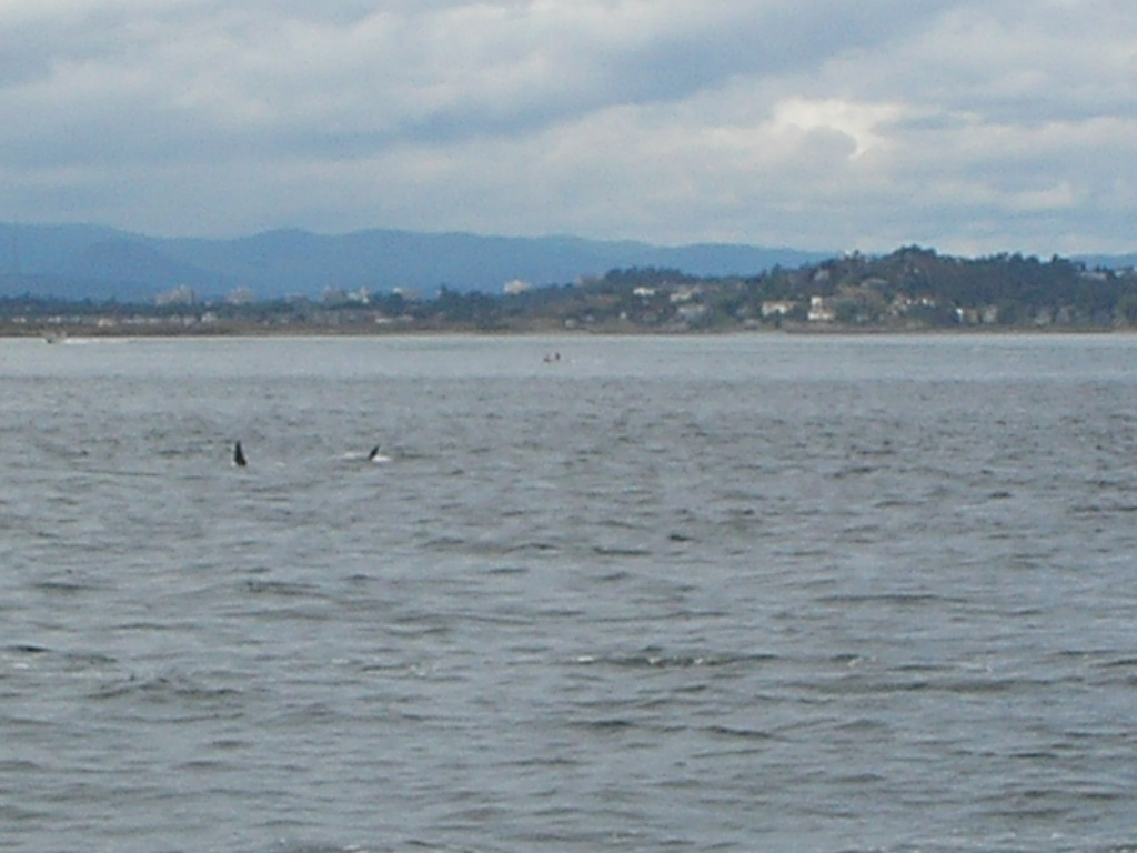 In a 2007 trip to Washington, we took a whale-watching trip from Bellingham and followed some Orcas off the coast of Victoria, B.C.