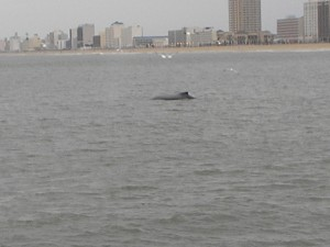 We followed this young whale off the coast of Virginia Beach for nearly half an hour.