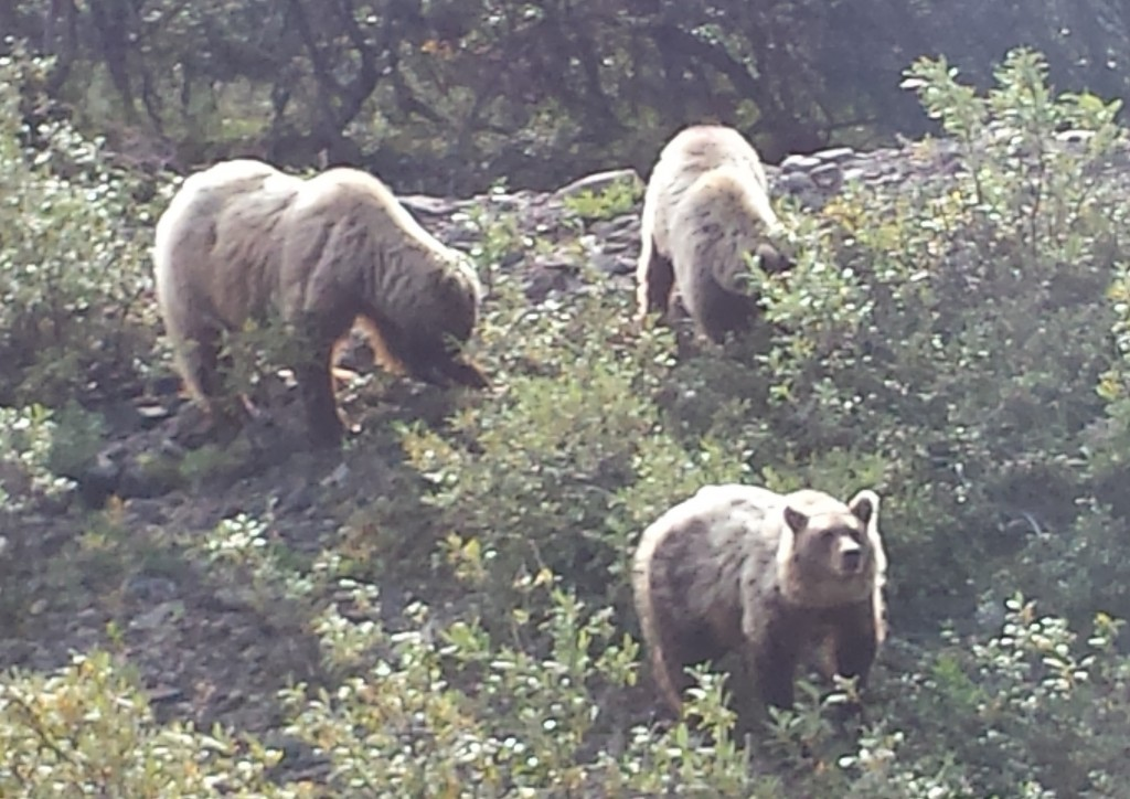 We stopped for about 15-20 minutes to watch these three bears by the roadside. The largest is the mother bear with a couple cubs. Cubs stay with the mother for three years, and the guide estimated these cubs as 3-year-olds about ready for independence.