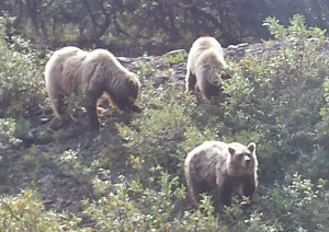 Grizzlies were a highlight of our Denali visit.