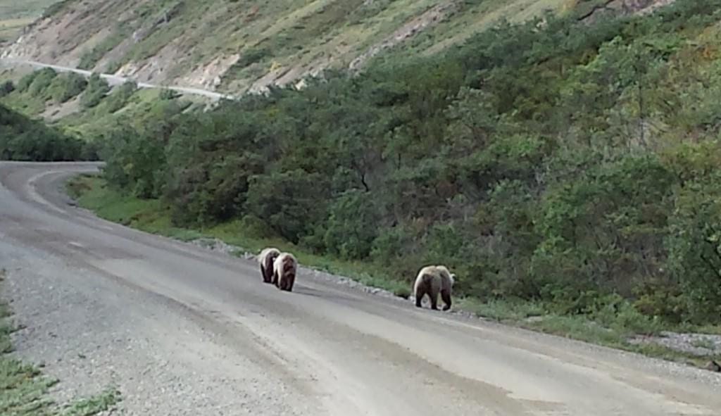 After foraging for berries on the left side of the road for a while, the bears walked on the road for a while, then foraged some more on the right side.