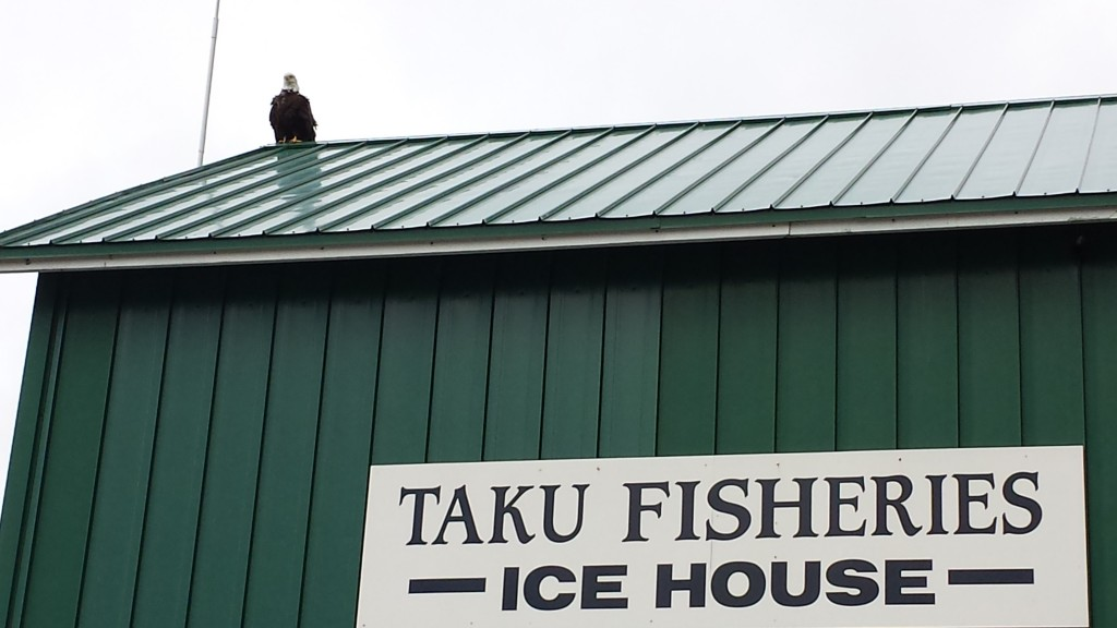 I wonder why an eagle would hang out around a fishery?