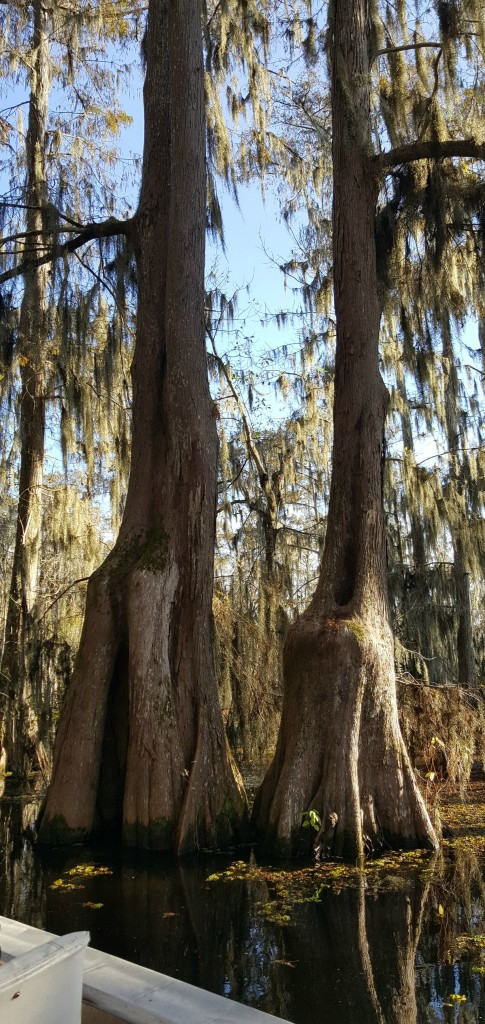 These two trees are Shawn's favorites in the swamp. He thinks they look like a married couple.