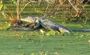 This gator posed for us a while.