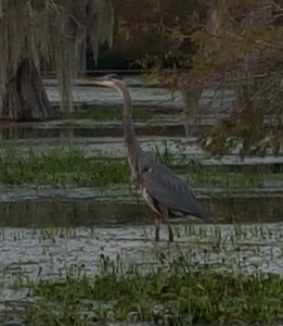 A great blue heron posed for us a while but didn't eat an alligator.