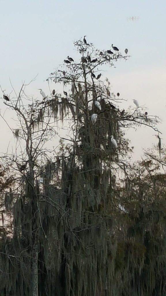 Roosting birds fill the high branches as well as the low branches of their favored trees.